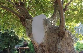 Asırlık çınar ağaçlarının bakımı ve tedavisi...